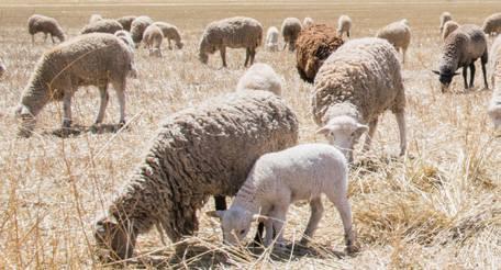 wełna, dywany wełniane, pasące się owce